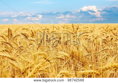 Golden wheat field, fresh crop of wheat.
