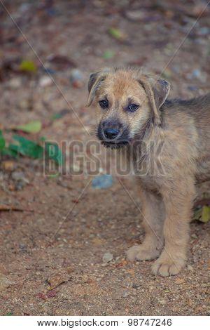 Asia Dog