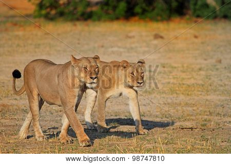 Two of Cecil's Pride walking