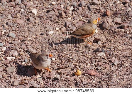 Finches in the Australian desert