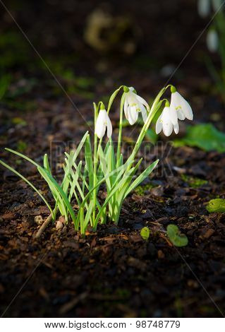 Snowdrops (Galanthus) in bloom