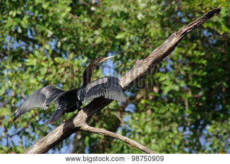 Cormorant in Honduras