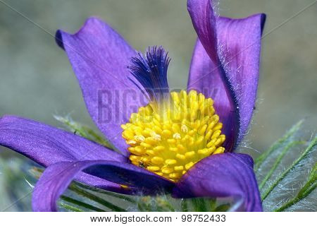 Pasque Flower in spring