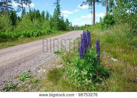 Lupines By A Gravel Roadside