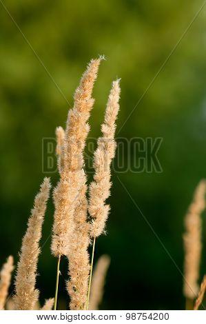ripe ear (Calamagrostis epigeios)