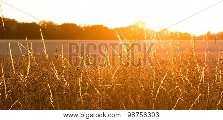 Golden Wheat Field With Sunrays Panorama
