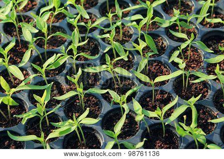 Fresh Peppers Seedlings In A Vegetable Tray
