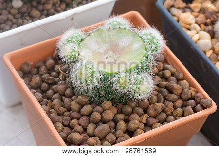 Cactus Propagation By Cut Treetop