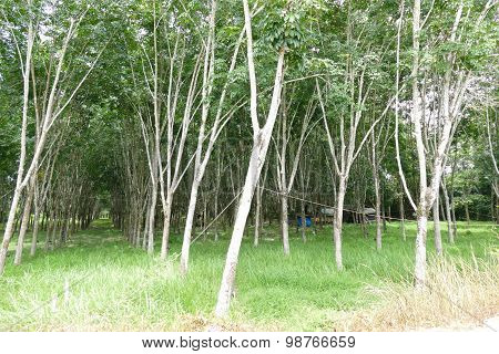 Rubber Tree Orchard In Thailand