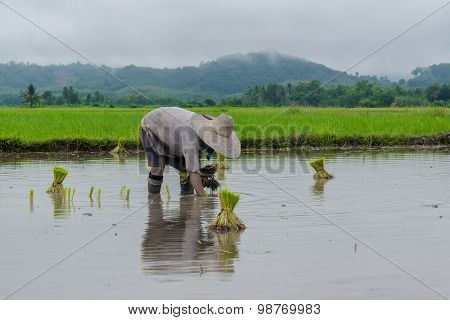 Farmer working planting rice in the paddy field