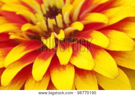 Extreme Close Up Shot Of Zinnia Flower