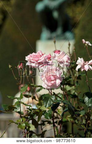 Paris - Pink roses in Rodin Museum
