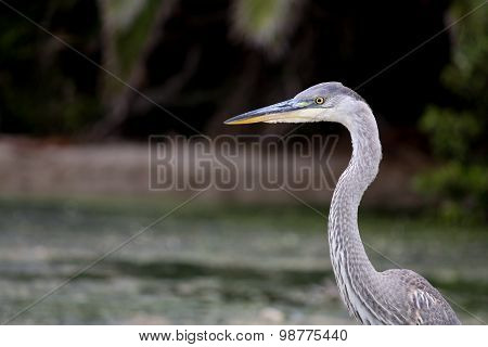 The Great Blue Heron On The Water At Malibu Beach In August
