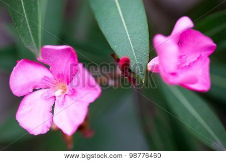 Nerium Oleander Pink Flowers And Buds