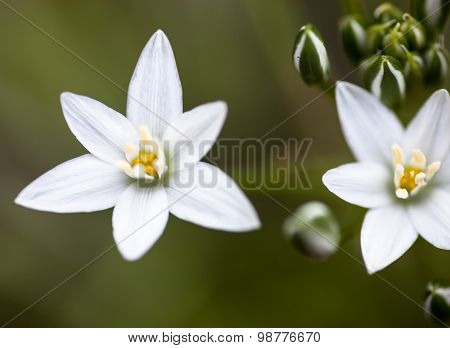 White Flowers Of Ornithogalum Umbellatum