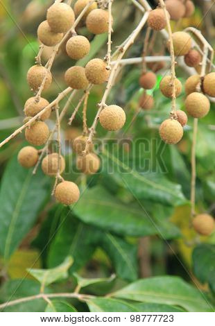 Longan Fruit Growing On Tree