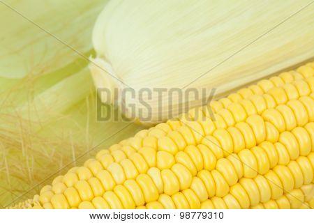 Fresh Corn Cobs