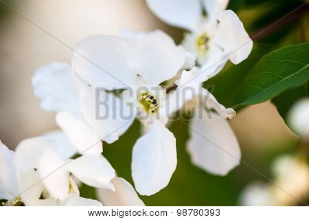 Close Up Of The Pear Tree Flowers