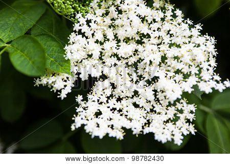 White Flowers Of The Black Elder (sambucus)
