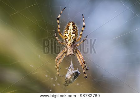 Spider On The Web With His Prey