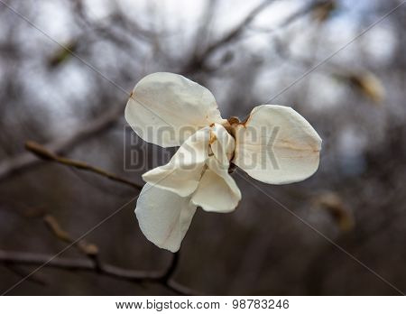 White Flower Of The Magnolia Tree In Early Spring