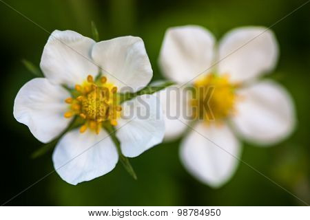 White Flowers Of The Wild Strawberry (fragaria Vesca)