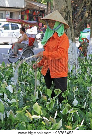 woman is pouring flower on the street in Hanoi,Vietnam