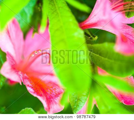 Rhododendron Pink Flowers