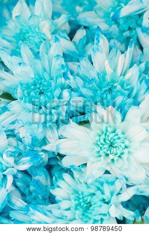 blue colored daisies