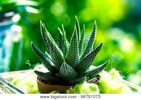 Haworthia Mix, Cactus,