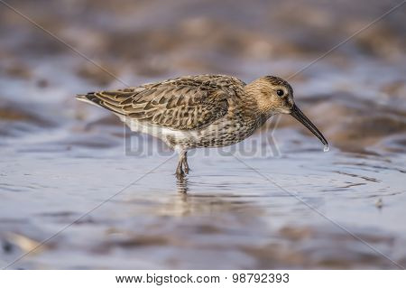 Dunlin Calidris alpina standing in a pool of sea water on the beach