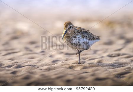 Dunlin Calidris alpina standing on one leg on the sand