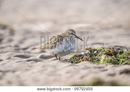 Dunlin Calidris alpina standing on the sand