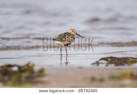 Dunlin Calidris alpina standing on the shoreline