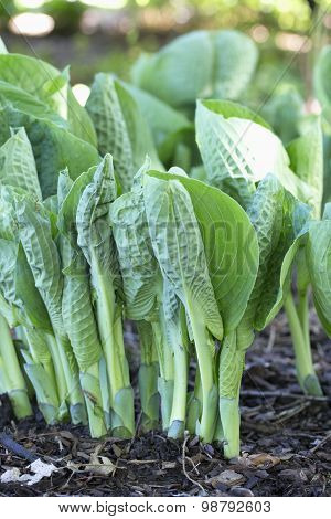 Hosta - Love Pat