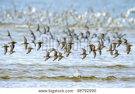 Dunlin Calidris alpina flying over the sea