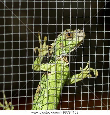 Iguana In The Cage