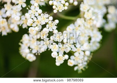 White Rowan Flowers