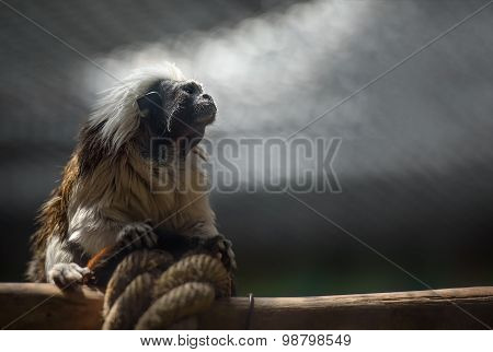 Cotton-top Tamarin Monkey