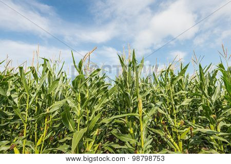 Silage Maize From  Close Against A Blue Sky