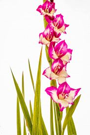 image of gladiola  - Pink and White Gladiolas flowers with spiky green leaves on a white background - JPG