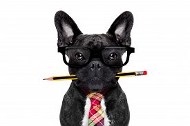 picture of bulldog  - office businessman french bulldog dog with pen or pencil in mouth isolated on white background - JPG