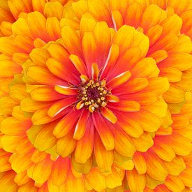 pic of zinnias  - Close up of Zinnia flowers background in summer - JPG