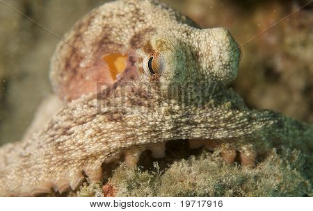 Common Octopus