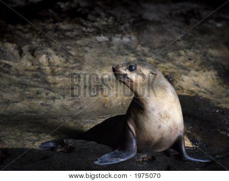 Seal in Australia