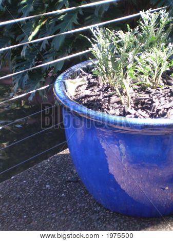 Blue Potplant