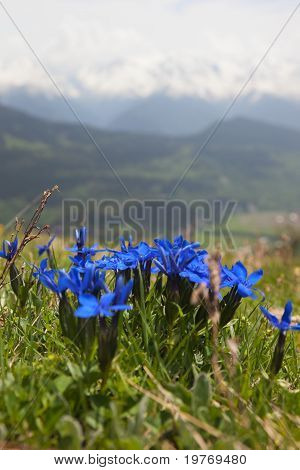 Wild Flowers On Alpine Meadows.