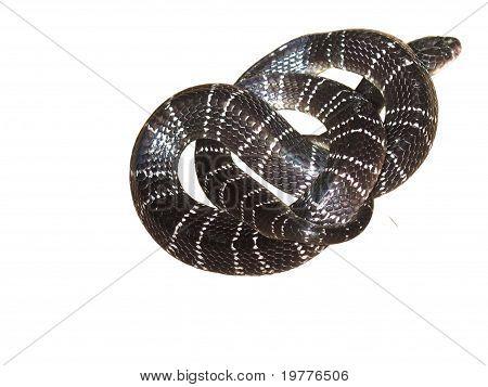 dangerous snake krait