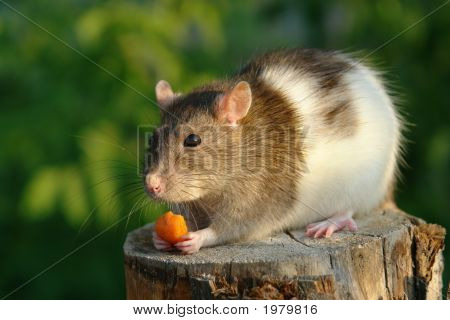 Mouse With A Carrot
