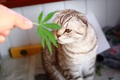 The Cat Sniffs A Leaf Of Marijuana, Canapis, Hashish, Hash, Drugs, Weed. Siamese Folded Cat Marijuan poster